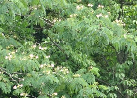 ねむの樹.jpg
