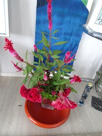 ケイトウの花.JPG