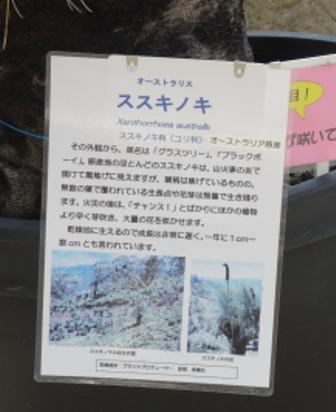 ススキノキ.JPG