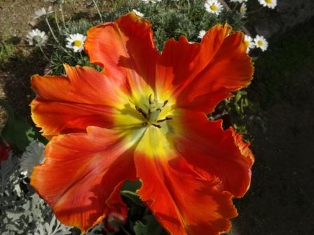チューリップ赤い花.jpg