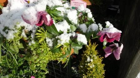 パンジー雪の.jpg