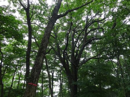 ブナの樹.jpg