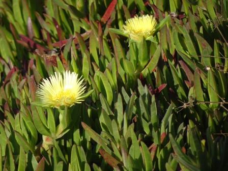 ロカ岬の花.JPG