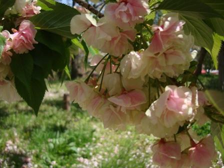 一番桜.jpg
