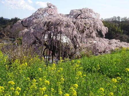 上から三春の桜.JPG