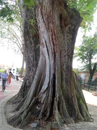 広場の樹.JPG