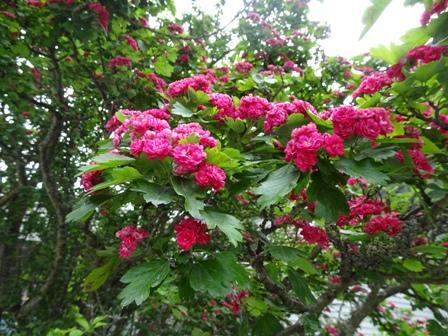 桜かキク科.JPG