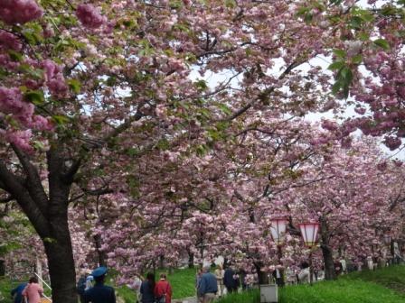 桜天井.jpg