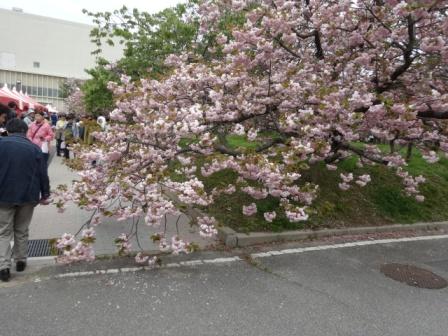 桜見物.jpg