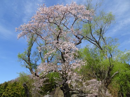 桜遊行柳の.JPG