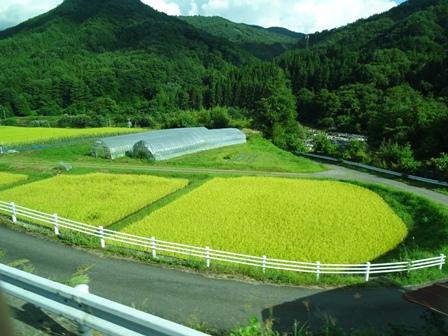 田んぼ黄色い.JPG