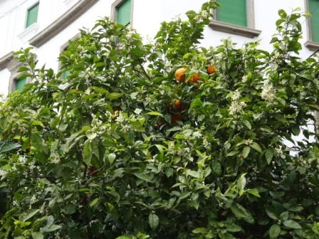 街路樹オレンジの.JPG