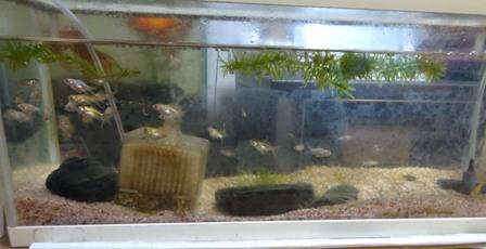金魚赤ちゃん.JPG