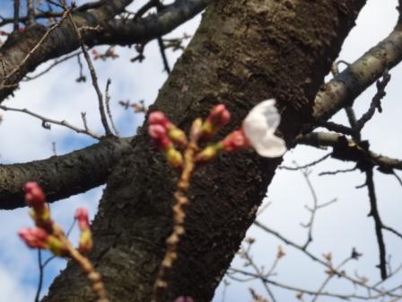 開花さくら.jpg