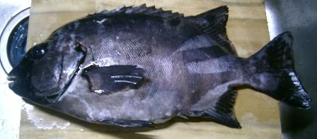 黒鯛.jpg