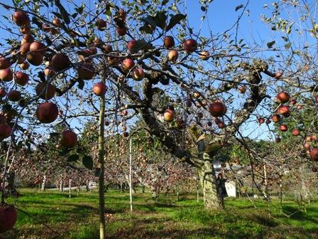1リンゴ園.JPG