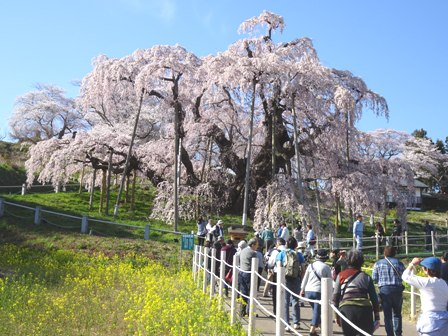 1三春の桜.JPG