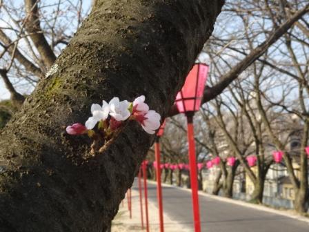 1桜開花.jpg