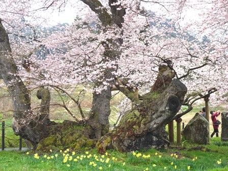1石部の桜.JPG