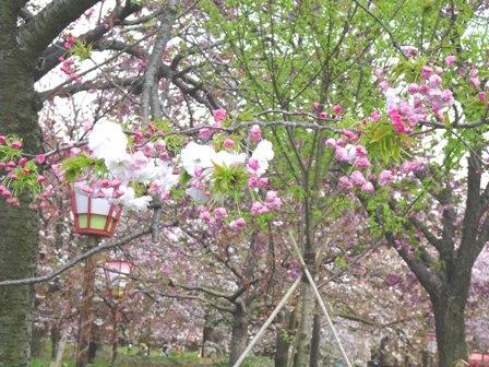 1造幣局の桜.JPG