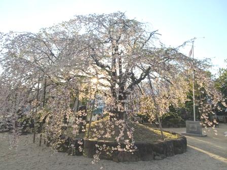 119,観音院の桜.JPG
