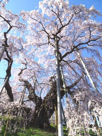 2三春の桜.JPG