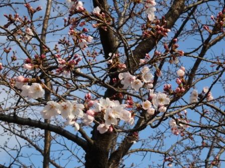 2桜開花.jpg