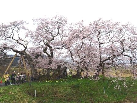 2石部桜.JPG