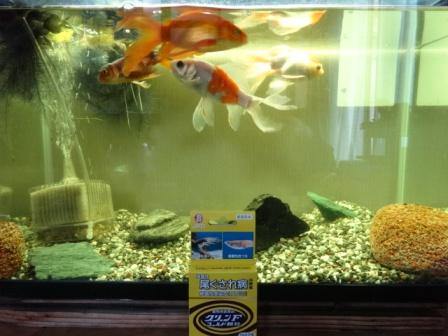 2金魚.jpg
