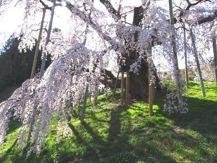 3三春の桜.JPG