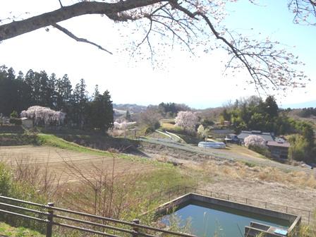 5三春の桜.JPG