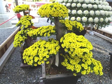 8菊祭り.JPG